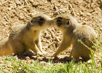 Two Prairie Dogs sharing an Intimate moment.