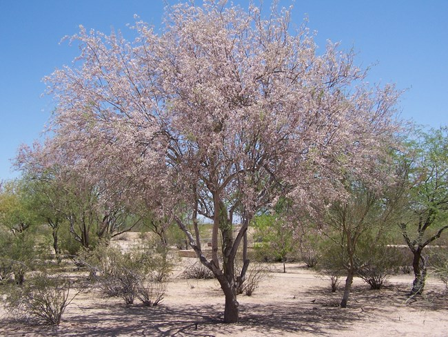 a rather large ironwood tree covered in pink blossoms