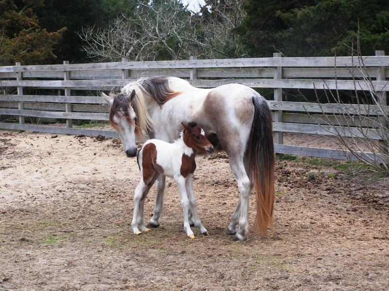 A photo of the newest member of the Ocracoke Island pony herd.  Paloma, a filly, was born on March 22, 2010.