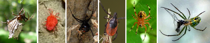 Spined Micrathena, Red Velvet Mite, Black Widow, Deer Tick, Marbled Orb Weaver, Orchard Orb Weaver. What types of animals are these?