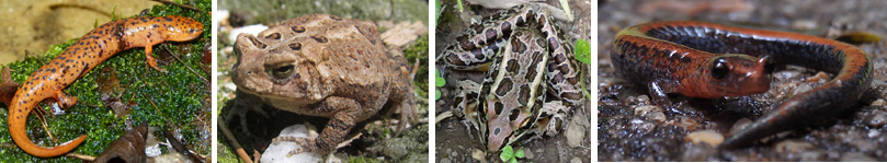 Northern Red Salamander, Toad, Pickerel Frog, Red-backed Salamander. What types of animals are these?