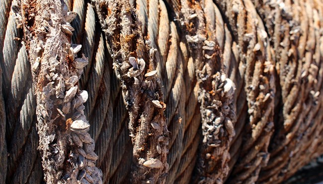 A boat's rope encrusted in invasive mussels