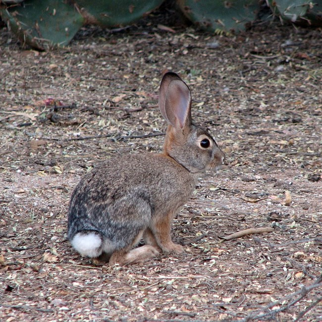 Small brown rabbit with white tail.