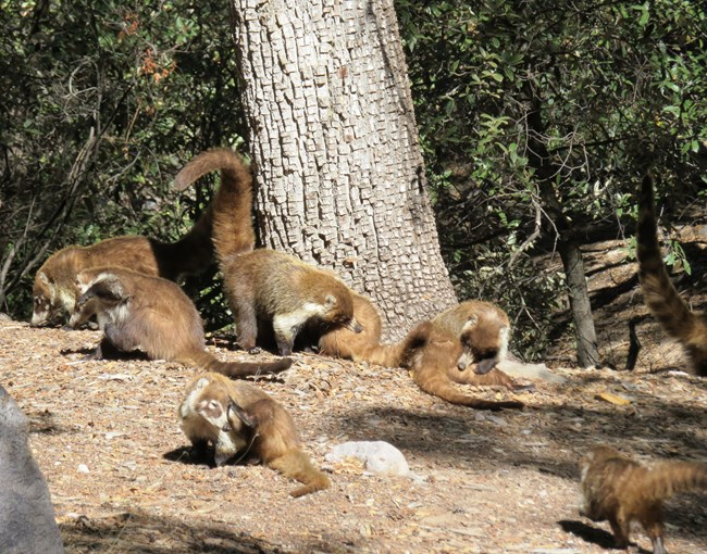 Eight mid-sized brown mammals with long tails groom themselves or forage for food underneath a tree.