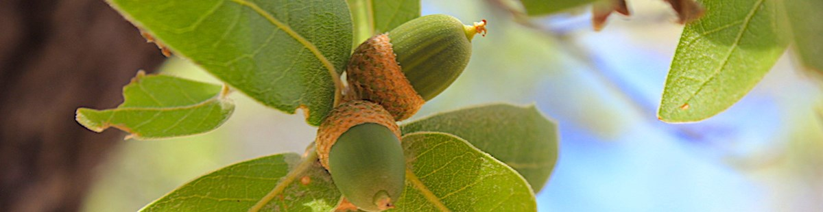 Green acorns on oak tree