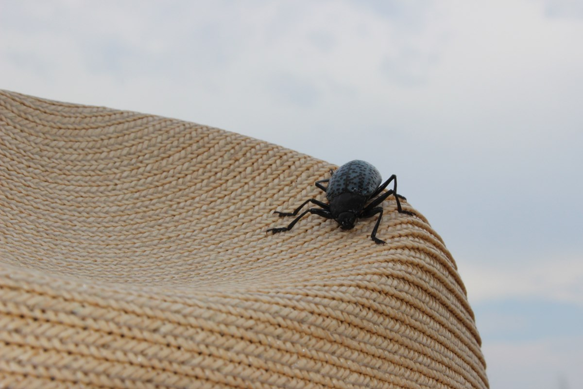 Gray beetle with black spots on straw hat.