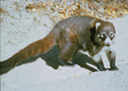 """Coatis are members of the raccoon family, which also includes the ringtail """"cat.""""  They all have long, striped tails."""