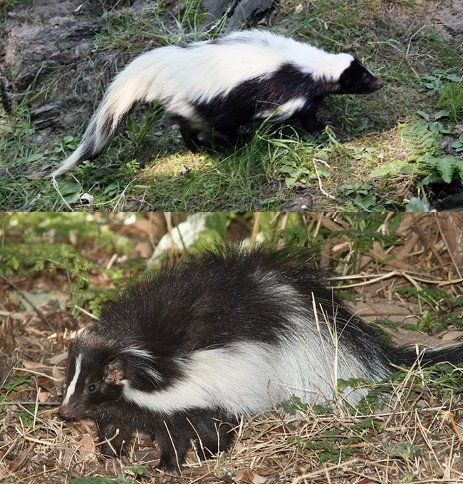 Two photos of black and white skunks with different stripe patterns.
