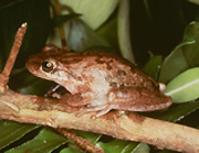 The canyon treefrog is one of only a few amphibians that live in the Monument.  It is a small frog - only about 2 inches long - but has a loud voice that can be heard during the summer rainy season.