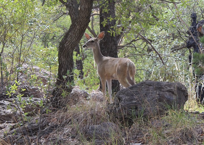small female deer standing between a rock and a tree.