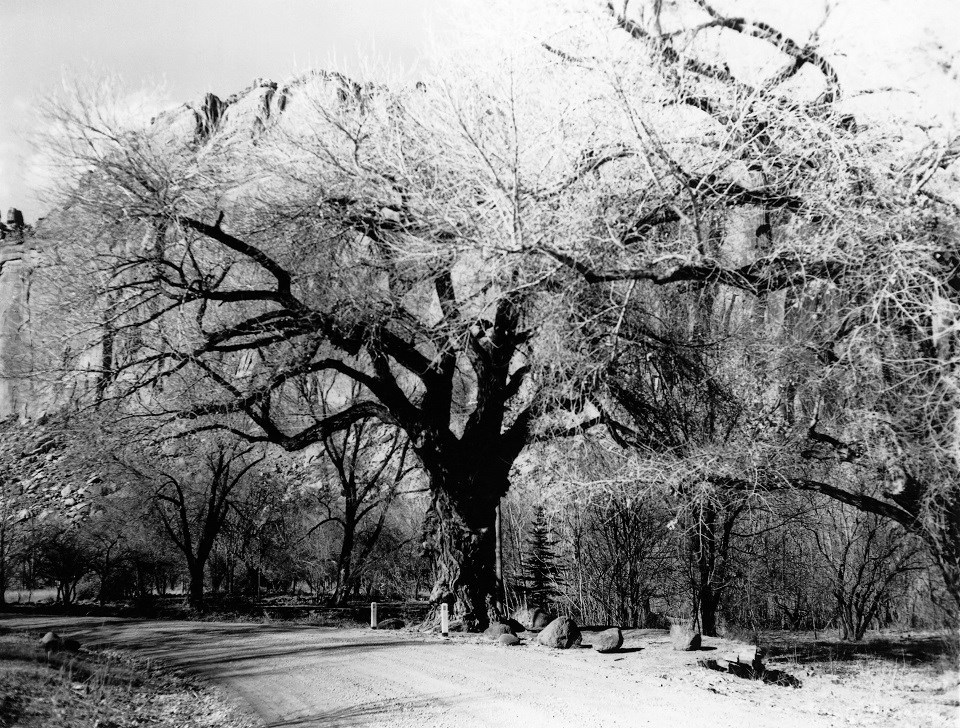 Black and white photo of large tree with branches spreading over a road.