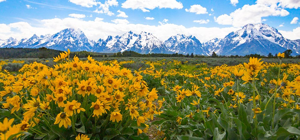 Wildflowers in summer with the Teton Range in the distance