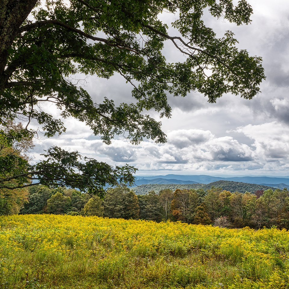 A view of golden flowers blooming in a clearing in front of an overlook.