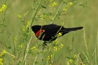 a redwing blackbird perches on a stalk of grass surrounded by other grasses and small yellow buds.