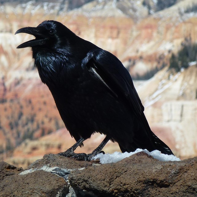 Crow standing on snowy rock and calling