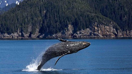 A humpback whale breaches off the coast.