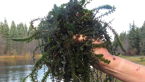A handful of Elodea, an aquatic invasive species.