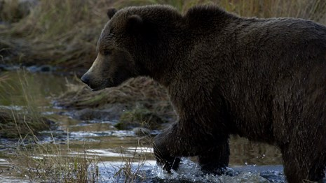Bear walking in water