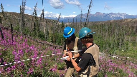 two people in hard hats measuring an unknown item in a fir scarred forest with purple flowers