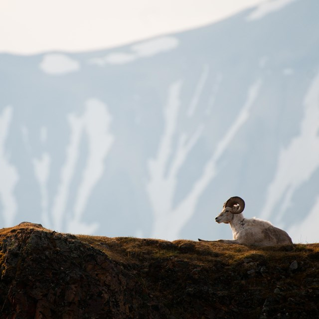 a dall sheep sits in front of mountains