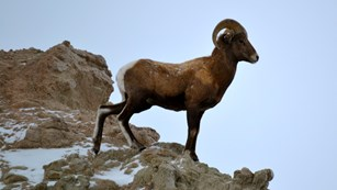 Bighorn sheep can be found throughout the badlands.