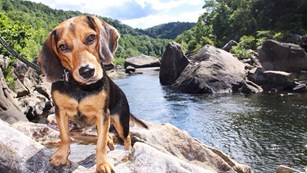 dog with leash standing on a rock in the river