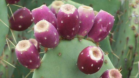 close up of prickly pear cactus pad with ripe fruits