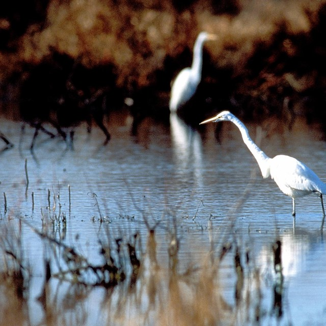 Two egrets in a marsh.