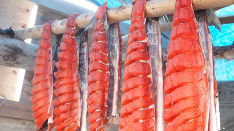 bright orange salmon drying on a fish rack