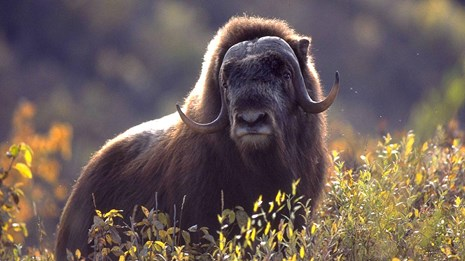 Large dark brown bull muskox stands in a field of willows