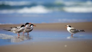 A group of terns in the surf.