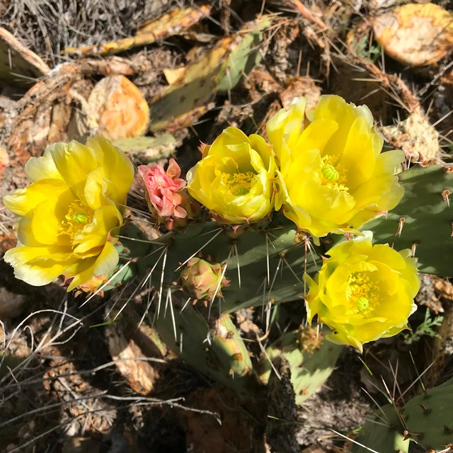 Four large, bright yellow flowers on cactus with flat, vertical green pads.
