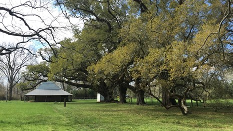 A distant view of the large Live Oaks with the blacksmith shop in the background.