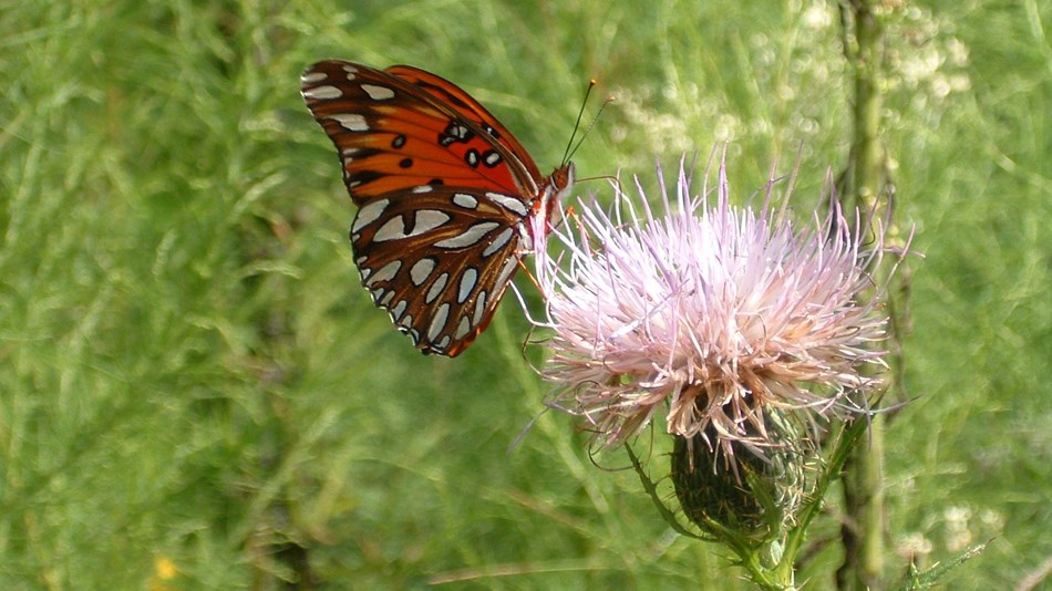 Gulf Fritillary butterfly on a thistle flower.