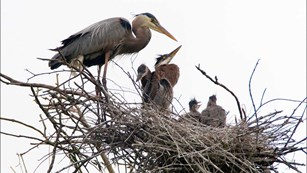 Adult Great Blue Heron in a nest with 4 young ones.
