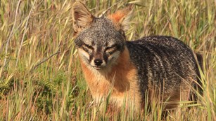 Island fox in grass. ©Tim Hauf, timhaufphotography.com