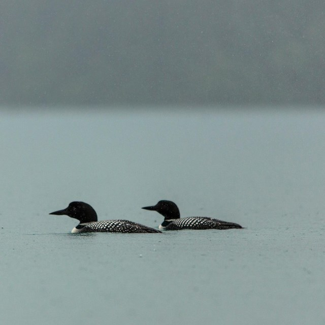 Two distant loons float on misty lake.