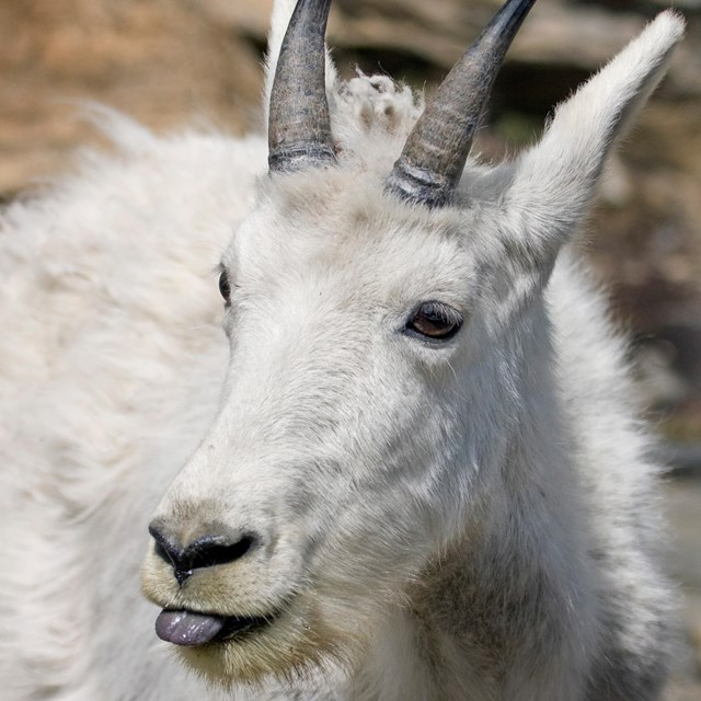 Close up of mountain goat with its tongue sticking out.