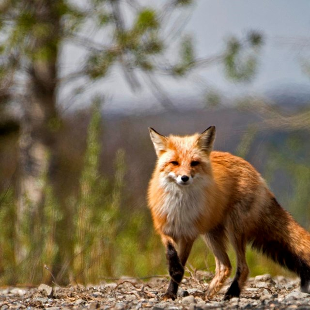 a fox looks into the camera