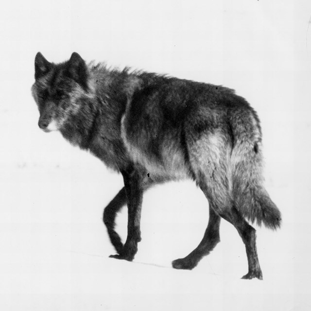 black and white photo of dark wolf in the snow