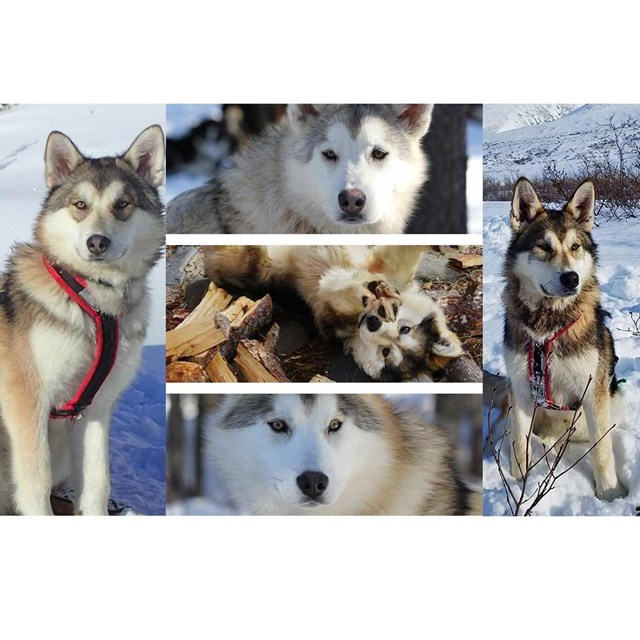 five alaskan huskies