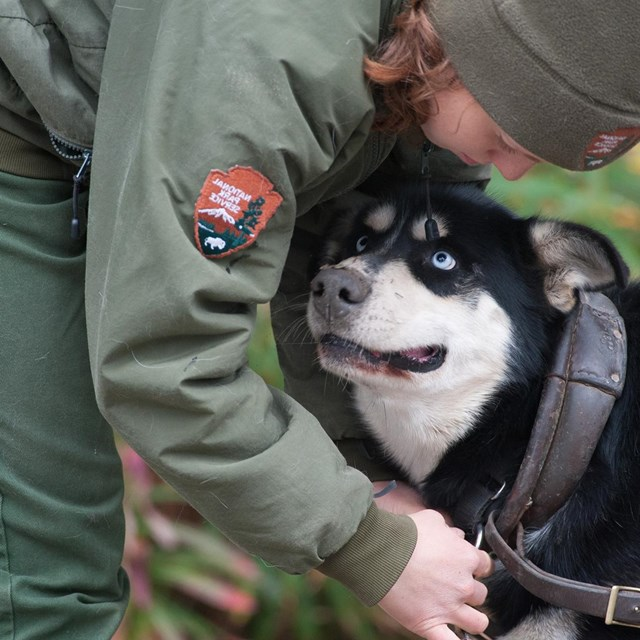 black sled dog looking up at a woman in a ranger uniform