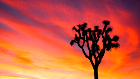 Joshua tree silhouetted against brilliant sunset