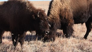Several bison in a grass field