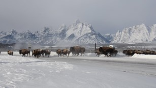 Large herd of bison on a snow-covered field in front of a mountain range