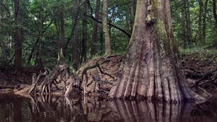 Bald cypress tree in a swamp