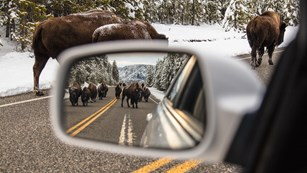Shot of car side mirror with herd of bison reflected in mirror.