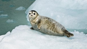 Small gray seal laying on it's side on top of a floating block of ice