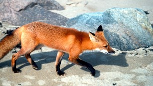 Red fox walking over sand with rocks in background
