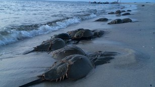 Horseshoe crabs lying on beach.